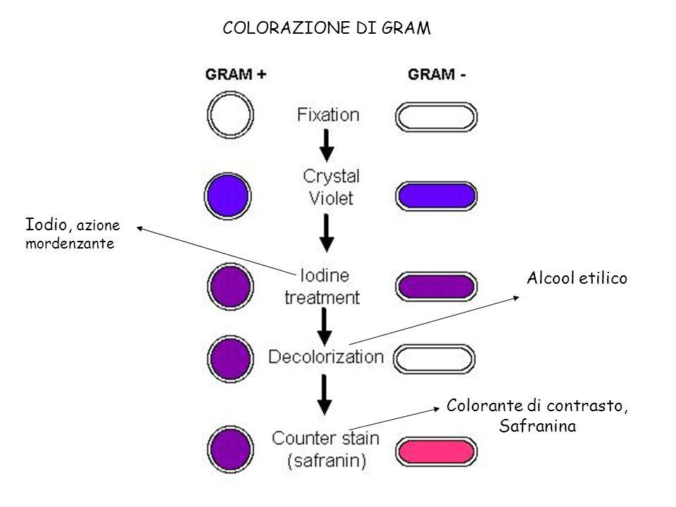 Batterio Gram positivo Batterio Gram negativo Micrococcus luteus Escherichia coli COLORAZIONE DI GRAM