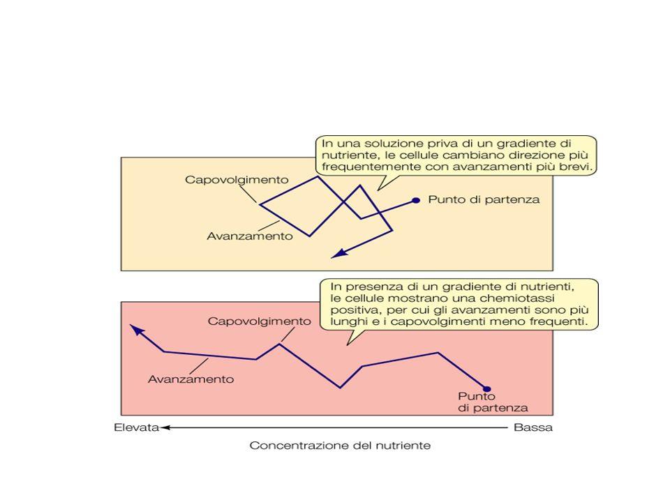 Velocità relative di alcuni organismi OrganismiKm/hr Lunghezza organismo/sec Ghepardo11125 UOMO - Michael Johnson 37.55.4 BATTERI0.0001510 Gara di velocità tra organismi