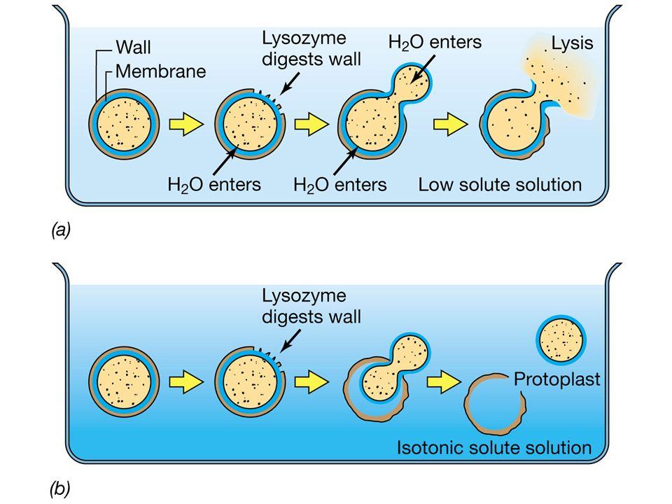 Forme cellulari dei batteri bacilli cocchi spirilli bacilli