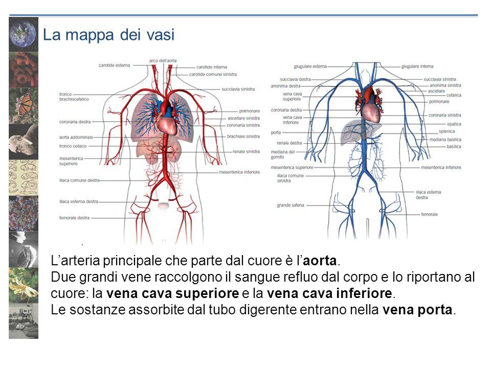 La mappa dei vasi L'arteria principale che parte dal cuore è l'aorta.