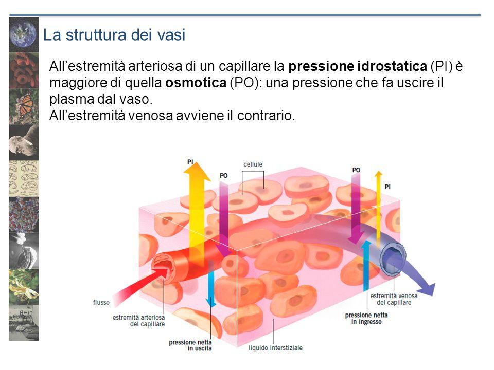 La struttura dei vasi
