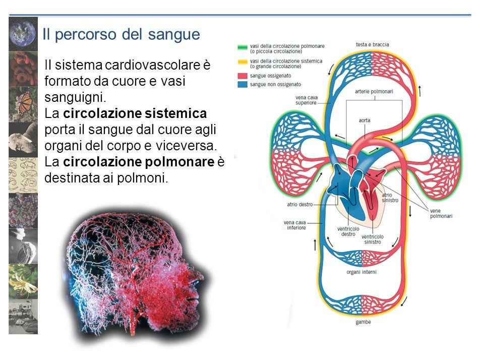 Il percorso del sangue Il sistema cardiovascolare è formato da cuore e vasi sanguigni.