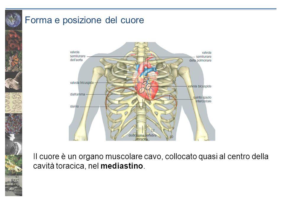 Forma e posizione del cuore