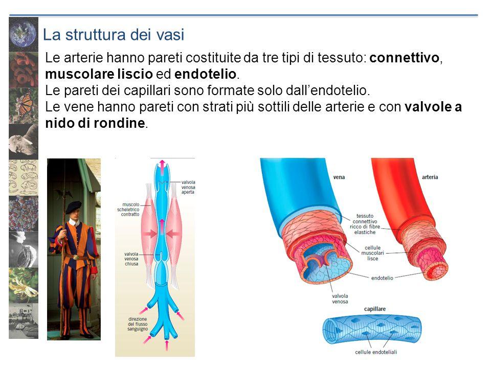 La struttura dei vasi Le arterie hanno pareti costituite da tre tipi di tessuto: connettivo, muscolare liscio ed endotelio.