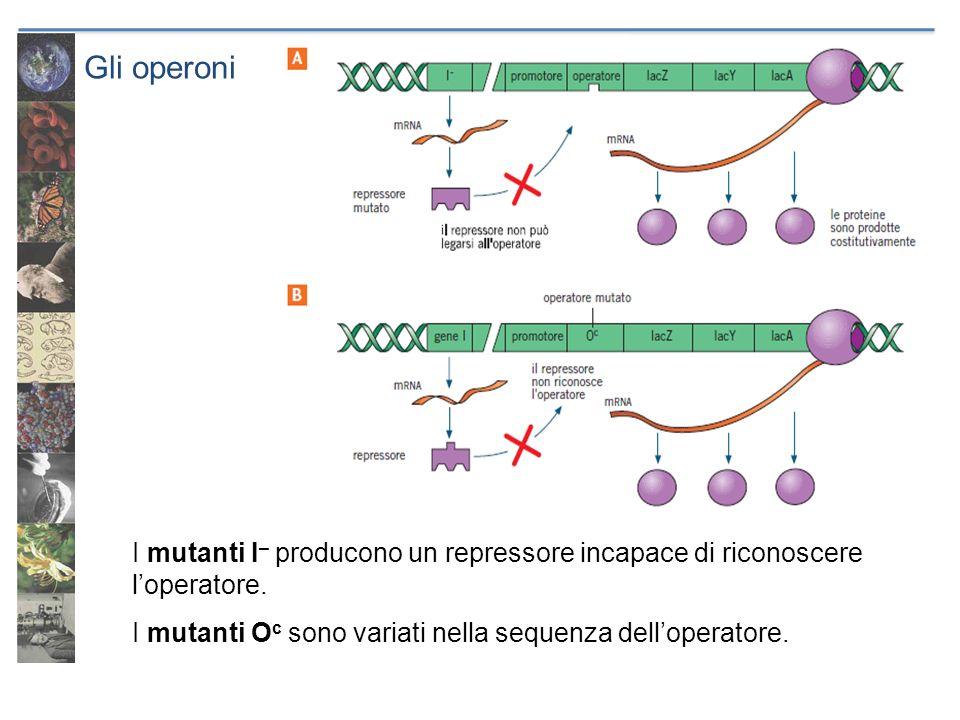 Gli operoni I mutanti I– producono un repressore incapace di riconoscere l'operatore.