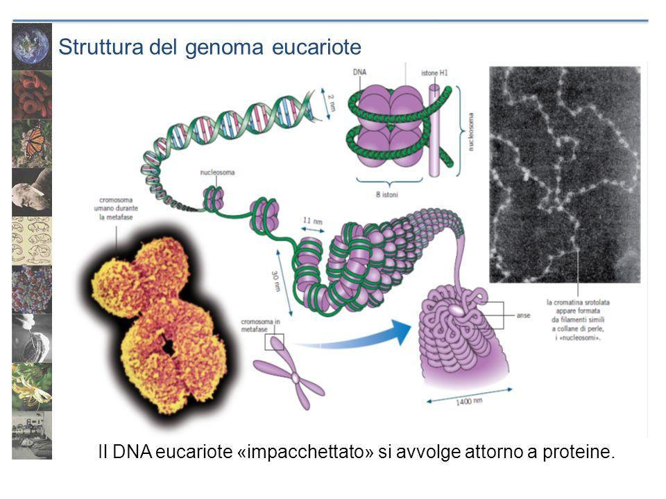 Struttura del genoma eucariote