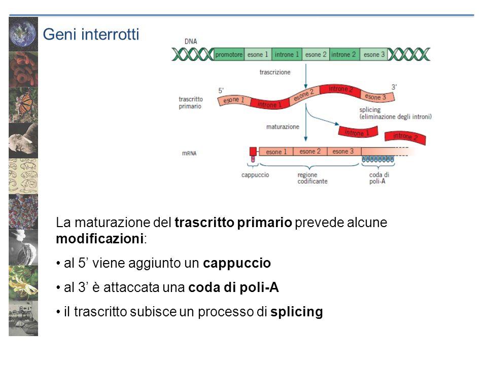 Geni interrotti La maturazione del trascritto primario prevede alcune modificazioni: al 5' viene aggiunto un cappuccio.