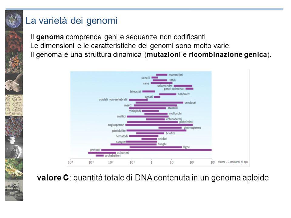 La varietà dei genomi valore C: quantità totale di DNA contenuta in un genoma aploide. Il genoma comprende geni e sequenze non codificanti.