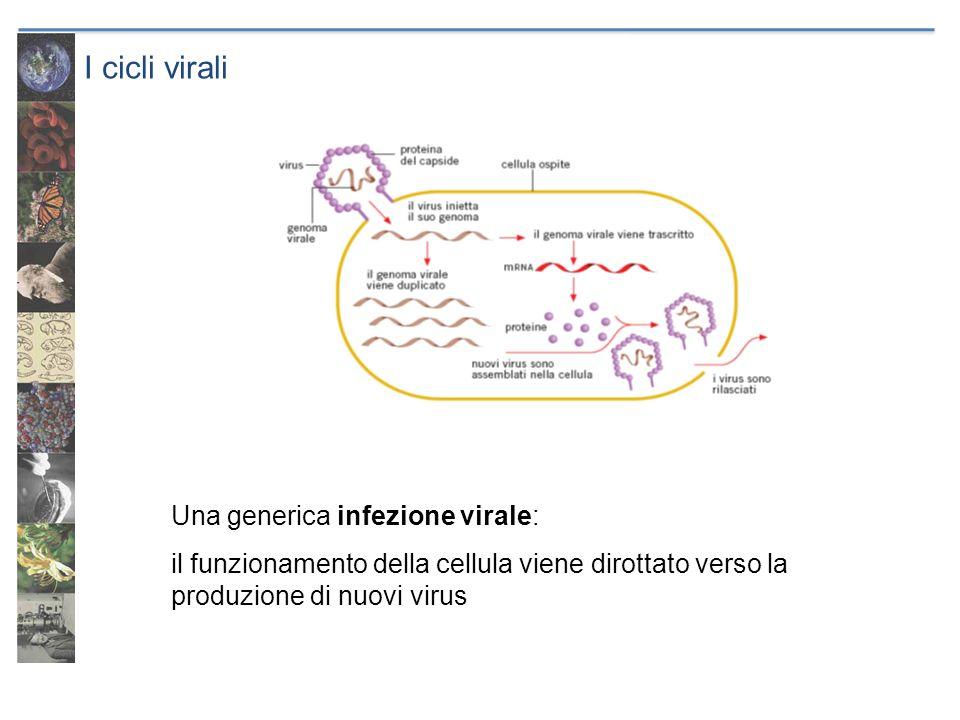 I cicli virali Una generica infezione virale: