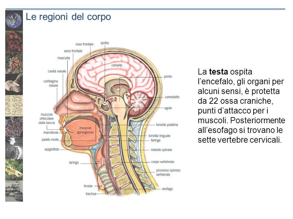 Le regioni del corpo