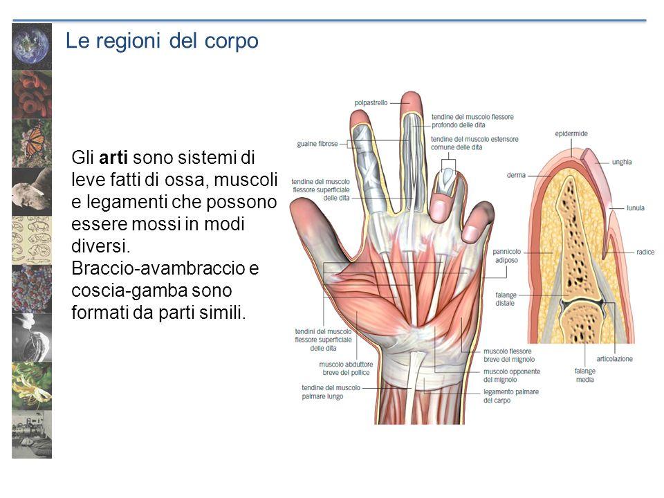 Le regioni del corpo Gli arti sono sistemi di leve fatti di ossa, muscoli e legamenti che possono essere mossi in modi diversi.