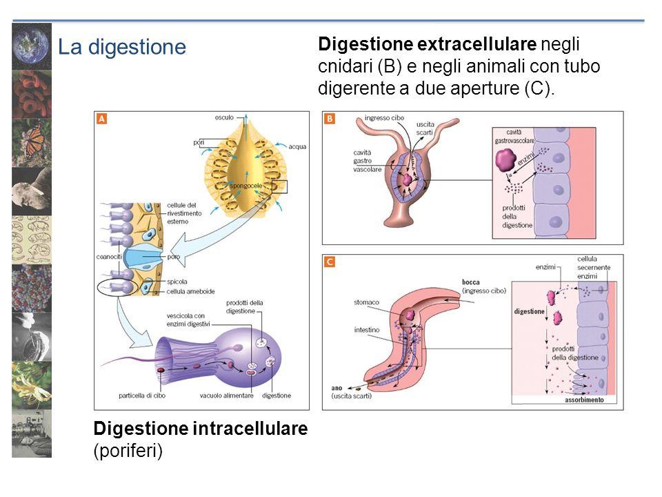 La digestione Digestione extracellulare negli cnidari (B) e negli animali con tubo digerente a due aperture (C).
