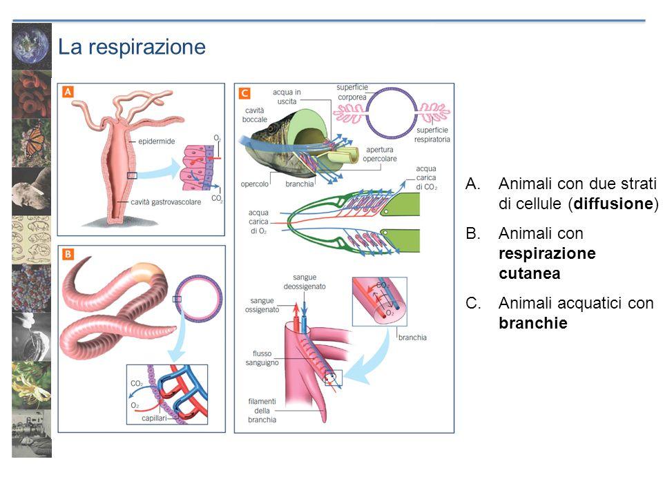 La respirazione Animali con due strati di cellule (diffusione)