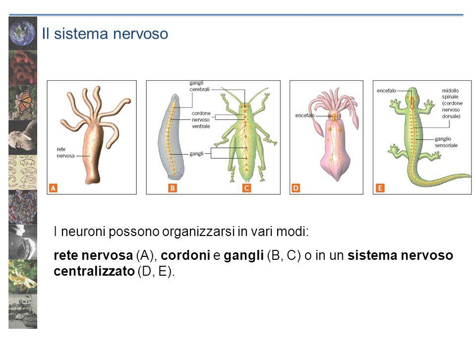 Il sistema nervoso I neuroni possono organizzarsi in vari modi: