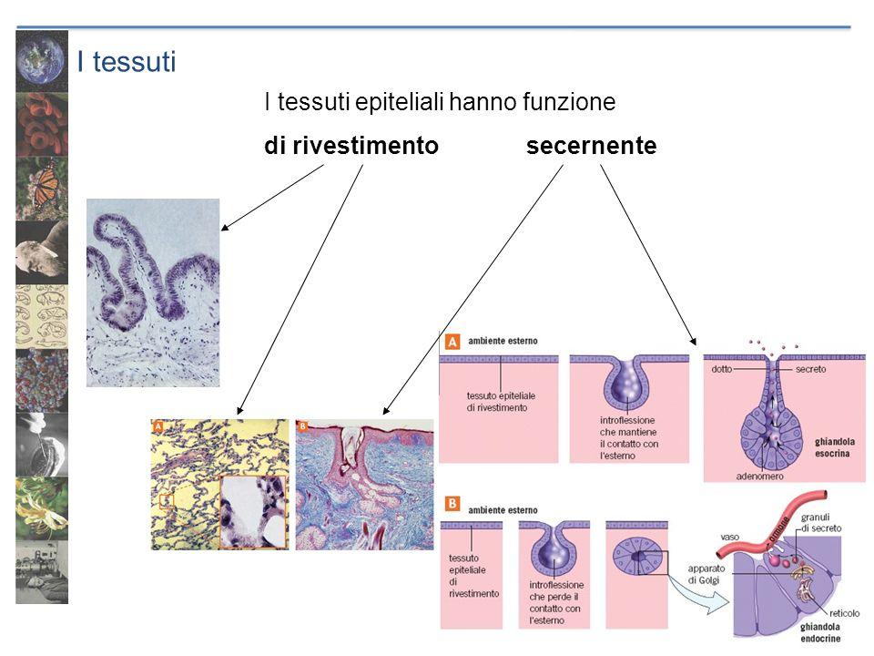 I tessuti I tessuti epiteliali hanno funzione