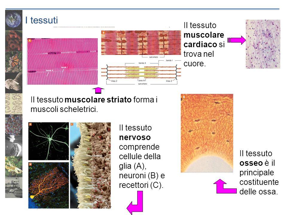 I tessuti Il tessuto muscolare cardiaco si trova nel cuore.