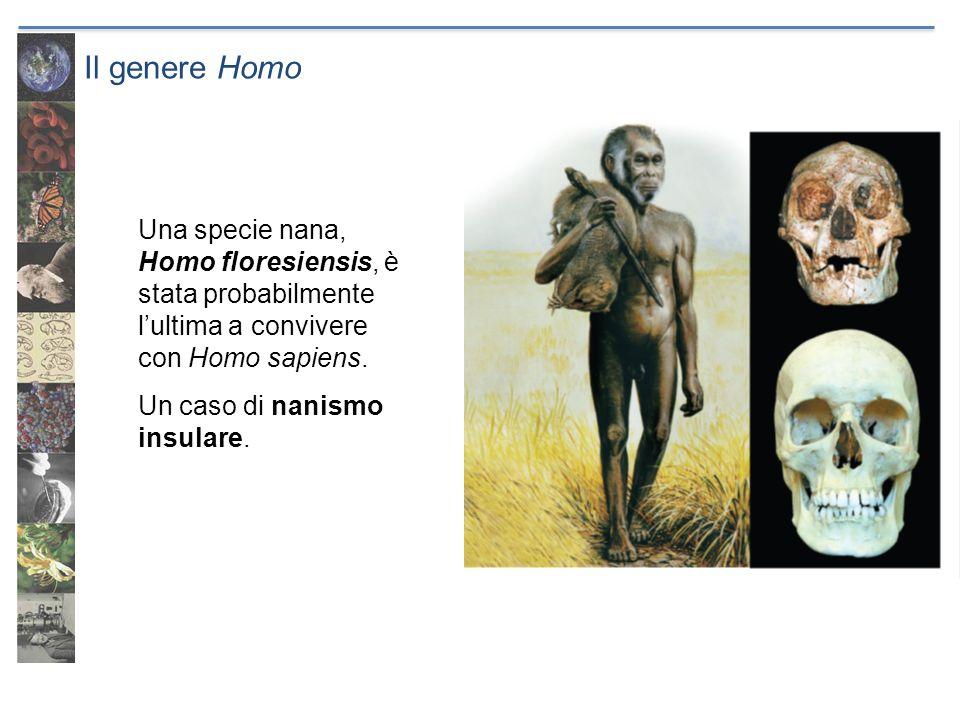 Il genere Homo Una specie nana, Homo floresiensis, è stata probabilmente l'ultima a convivere con Homo sapiens.