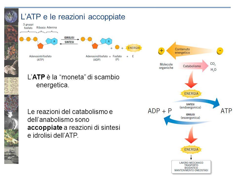 L'ATP e le reazioni accoppiate