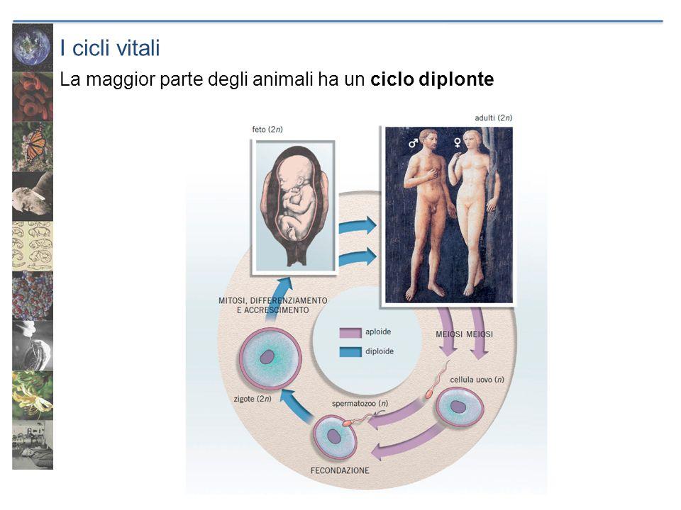 I cicli vitali La maggior parte degli animali ha un ciclo diplonte