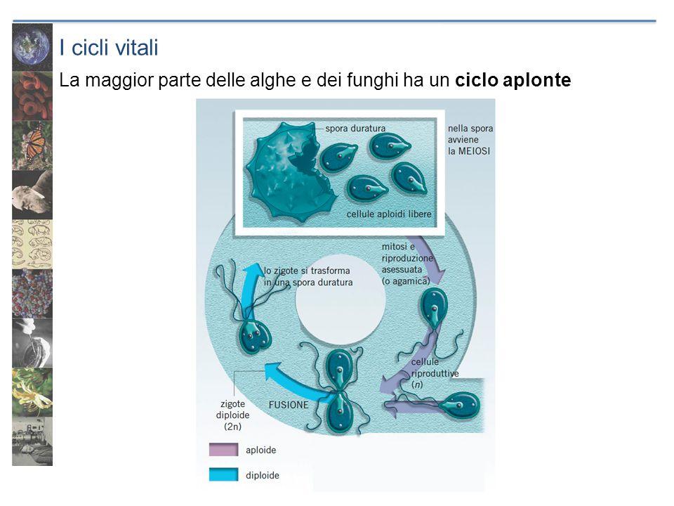 I cicli vitali La maggior parte delle alghe e dei funghi ha un ciclo aplonte