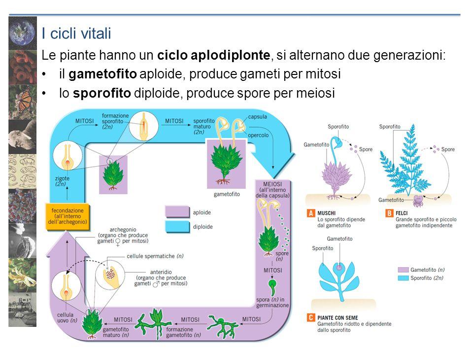 I cicli vitali Le piante hanno un ciclo aplodiplonte, si alternano due generazioni: il gametofito aploide, produce gameti per mitosi.