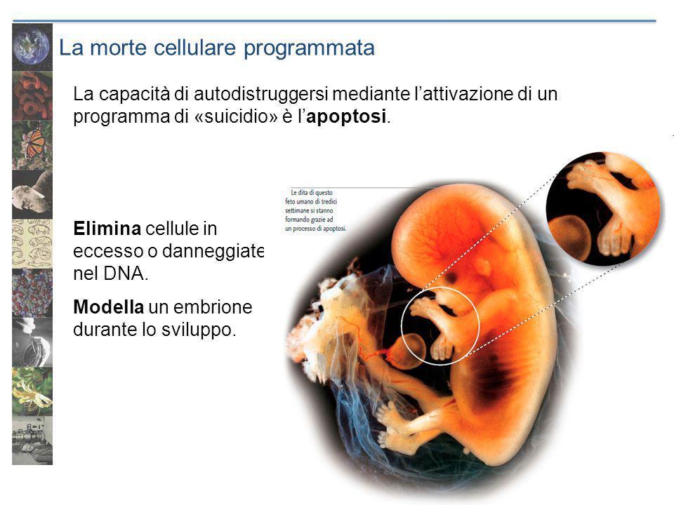 La morte cellulare programmata