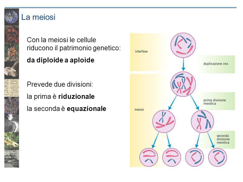 La meiosi Con la meiosi le cellule riducono il patrimonio genetico: