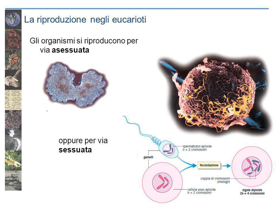 La riproduzione negli eucarioti