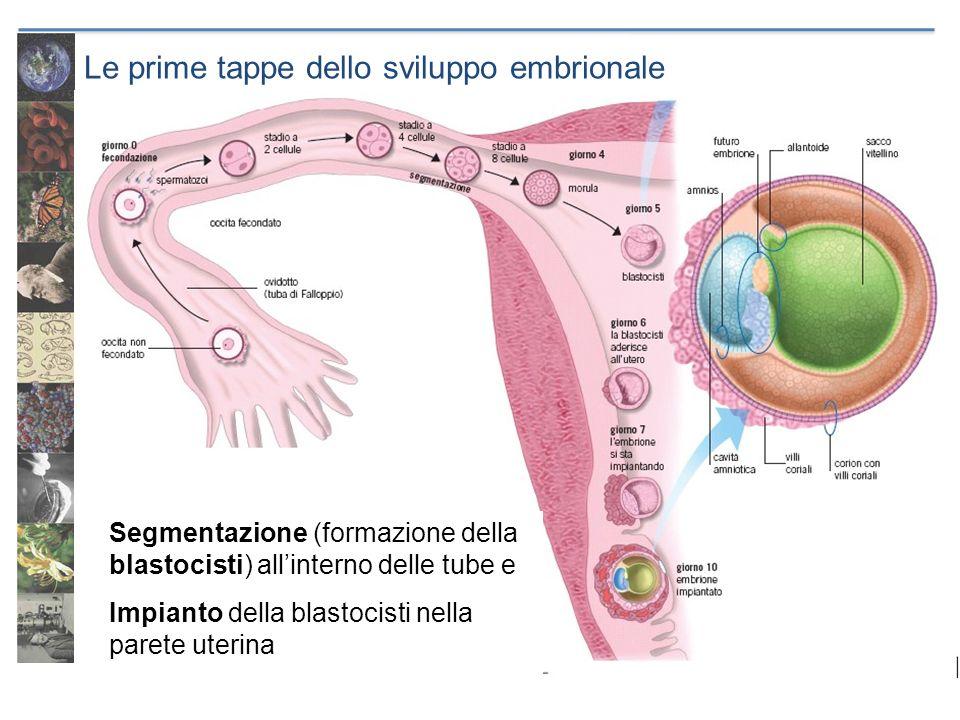 Le prime tappe dello sviluppo embrionale