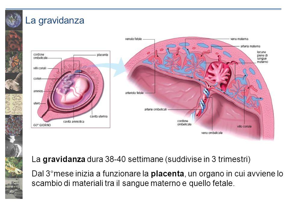 La gravidanza La gravidanza dura 38-40 settimane (suddivise in 3 trimestri)