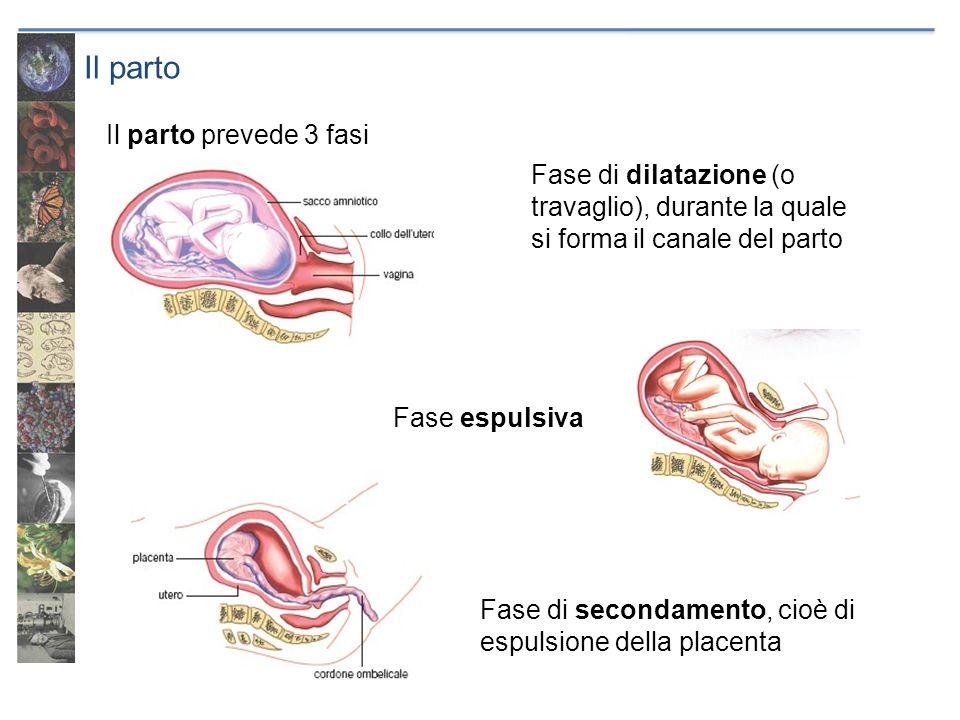 Il parto Il parto prevede 3 fasi