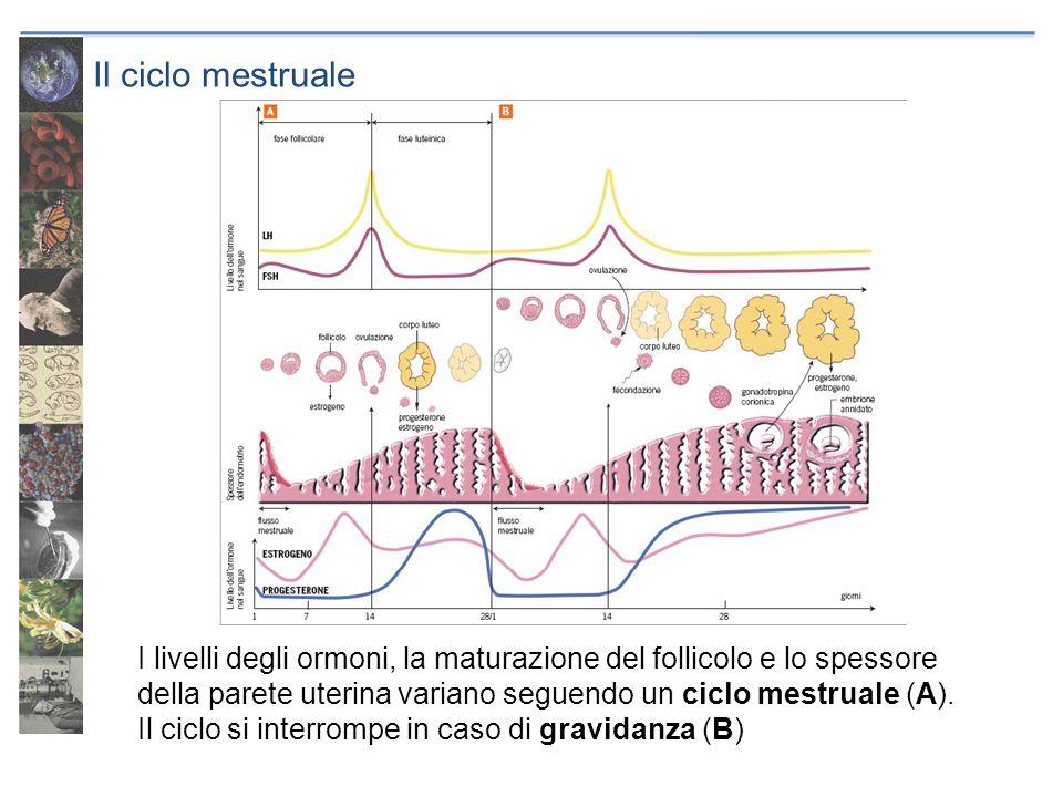 Il ciclo mestruale