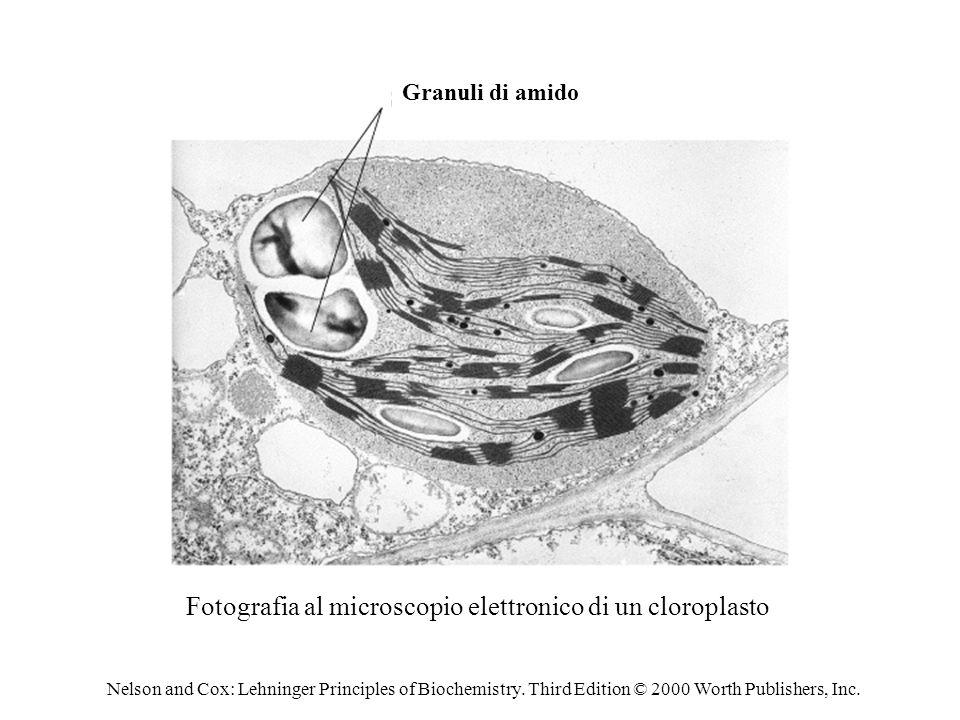 Fotografia al microscopio elettronico di un cloroplasto