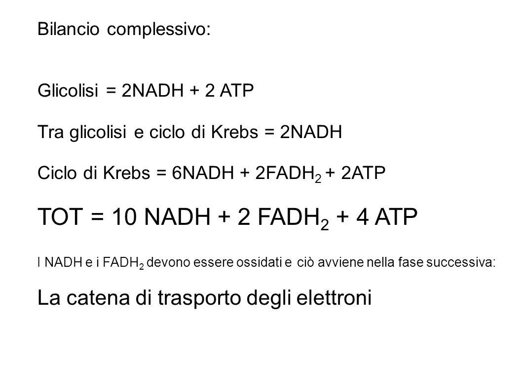 TOT = 10 NADH + 2 FADH2 + 4 ATP La catena di trasporto degli elettroni
