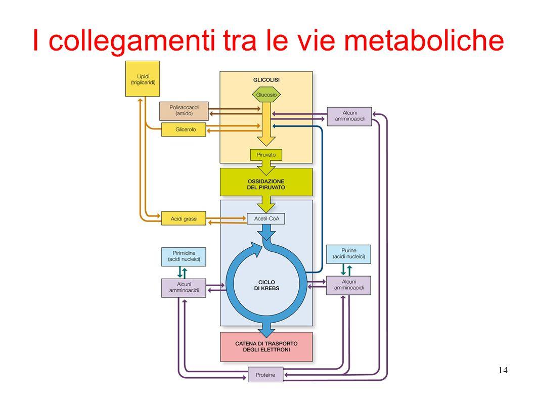 I collegamenti tra le vie metaboliche