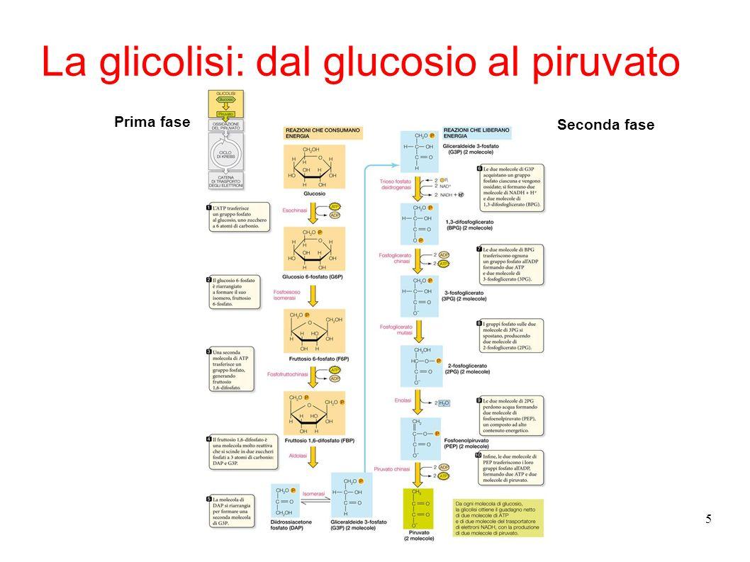 La glicolisi: dal glucosio al piruvato
