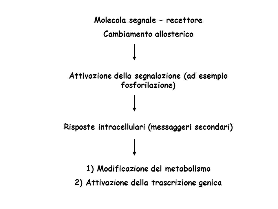Molecola segnale – recettore Cambiamento allosterico