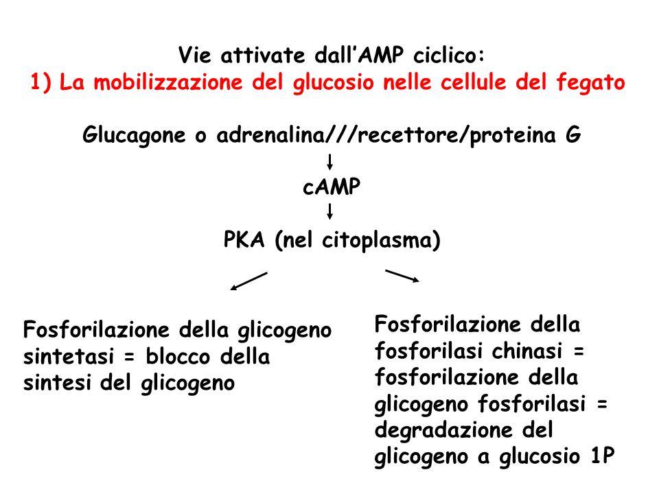 Vie attivate dall'AMP ciclico: