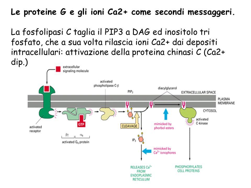 Le proteine G e gli ioni Ca2+ come secondi messaggeri.