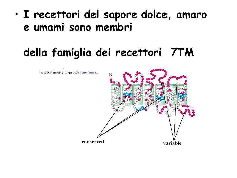 I recettori del sapore dolce, amaro e umami sono membri della famiglia dei recettori 7TM