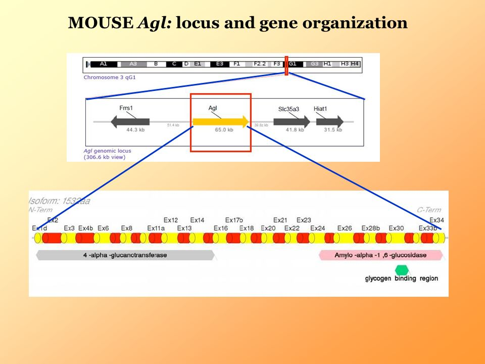 MOUSE Agl: locus and gene organization