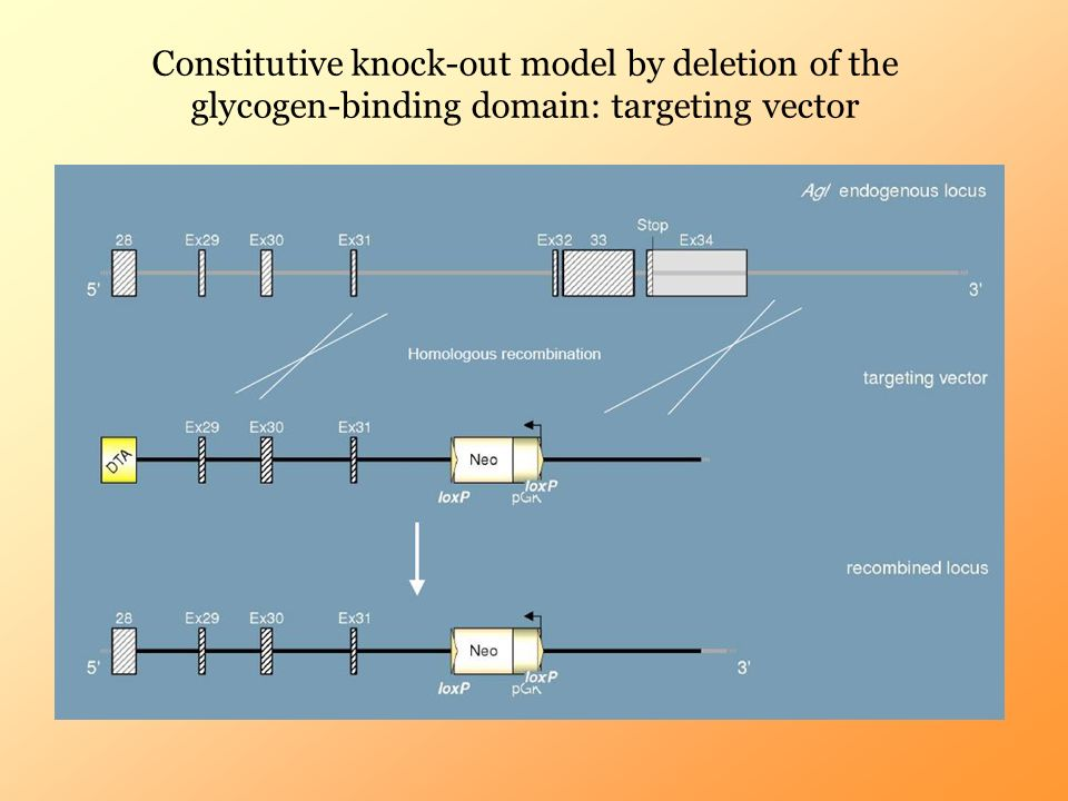 Constitutive knock-out model by deletion of the glycogen-binding domain: targeting vector