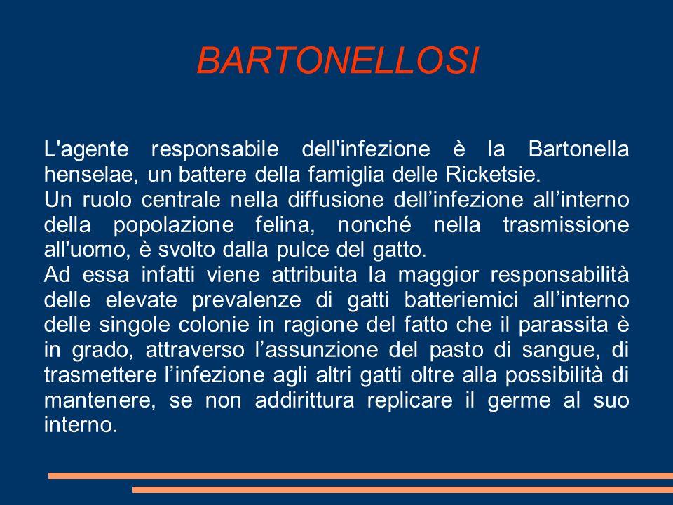 BARTONELLOSI L agente responsabile dell infezione è la Bartonella henselae, un battere della famiglia delle Ricketsie.