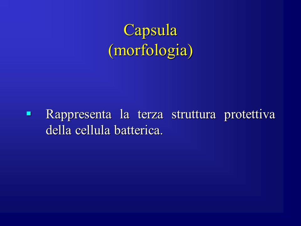 Capsula (morfologia) Rappresenta la terza struttura protettiva della cellula batterica.