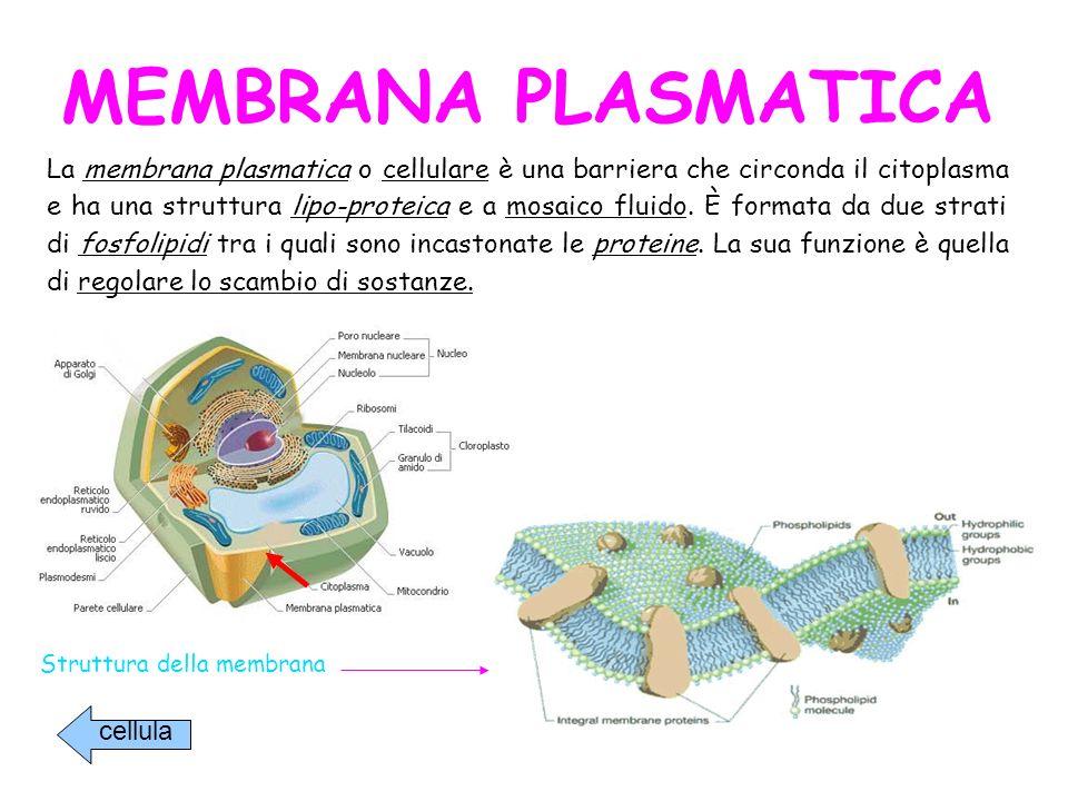 La membrana plasmatica o cellulare è una barriera che circonda il citoplasma e ha una struttura lipo-proteica e a mosaico fluido. È formata da due strati di fosfolipidi tra i quali sono incastonate le proteine. La sua funzione è quella di regolare lo scambio di sostanze.