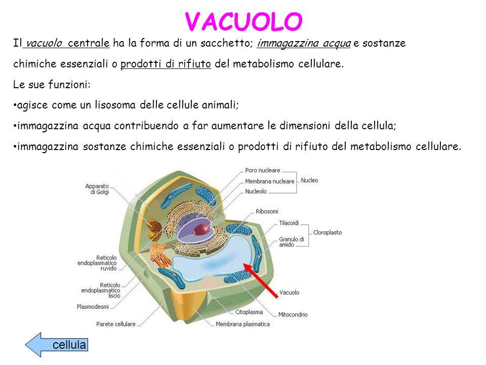 VACUOLO Il vacuolo centrale ha la forma di un sacchetto; immagazzina acqua e sostanze.