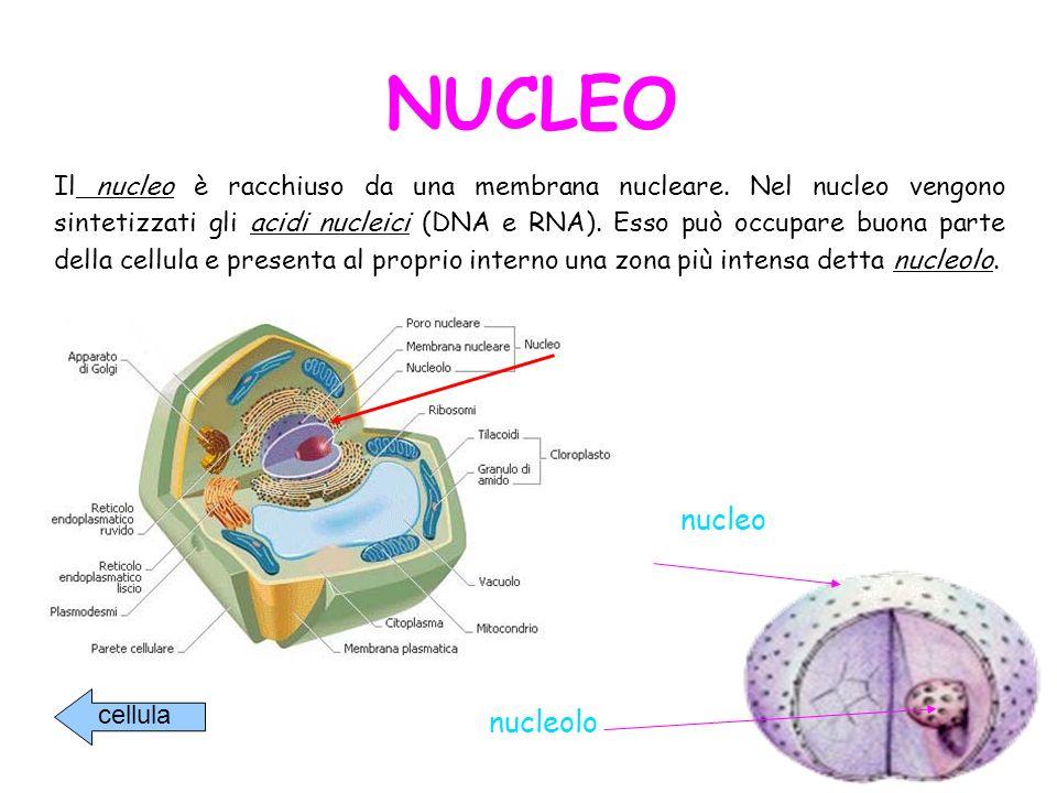 NUCLEO nucleo nucleolo
