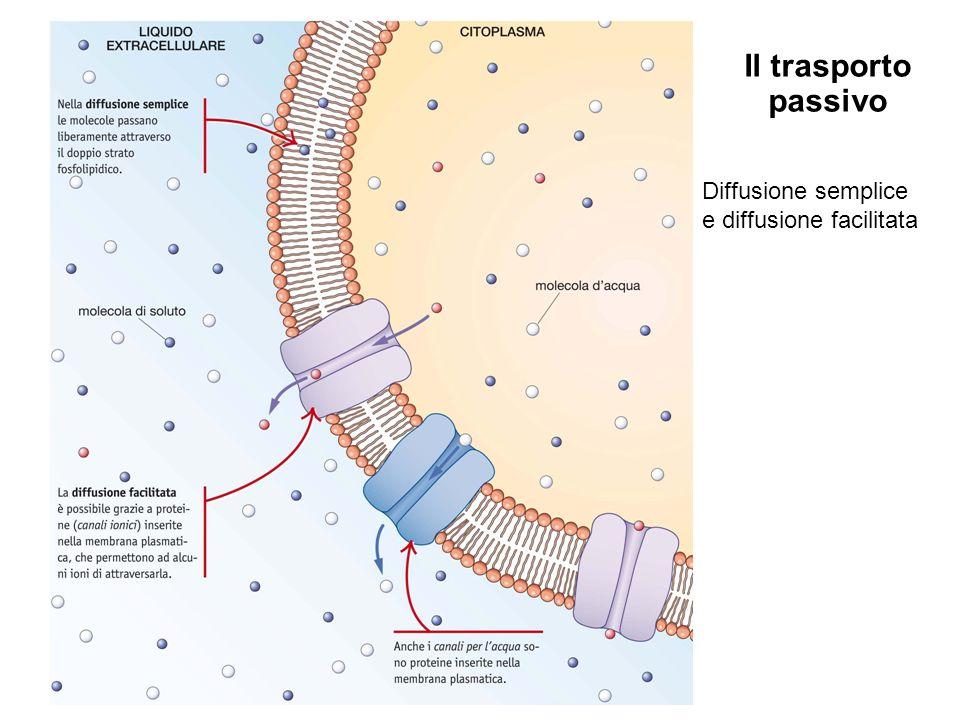 Il trasporto passivo Diffusione semplice e diffusione facilitata 11
