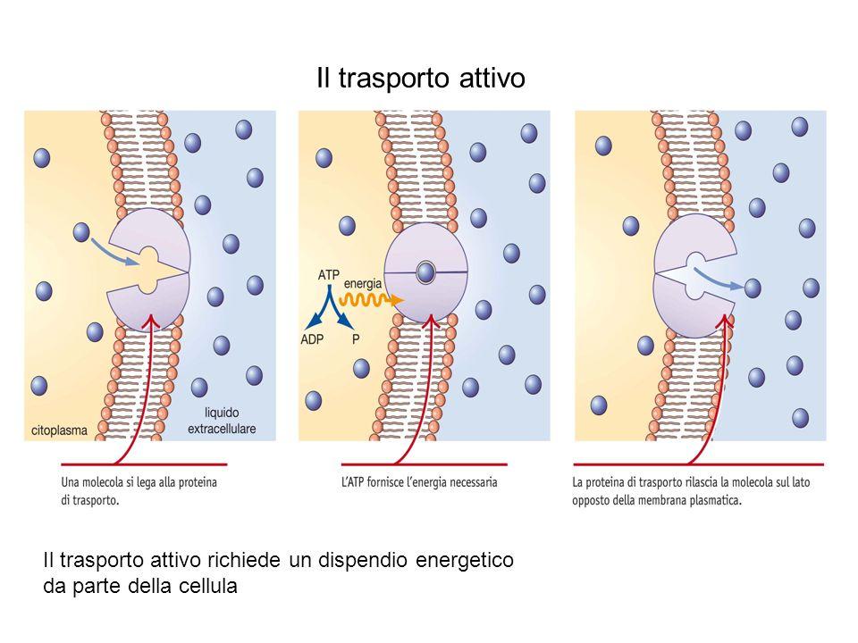 Il trasporto attivo Il trasporto attivo richiede un dispendio energetico da parte della cellula.