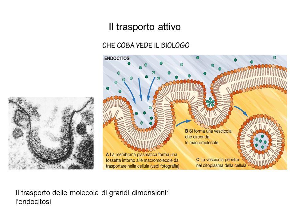 Il trasporto attivo Il trasporto delle molecole di grandi dimensioni: l'endocitosi.